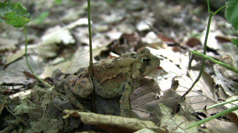 Cute forest toad casually rests on some leaves (High... Stock Video Footage