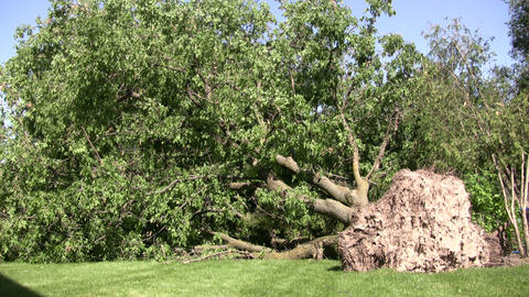 Large uprooted tree lays on the lawn (High Definition) Stock Video Footage