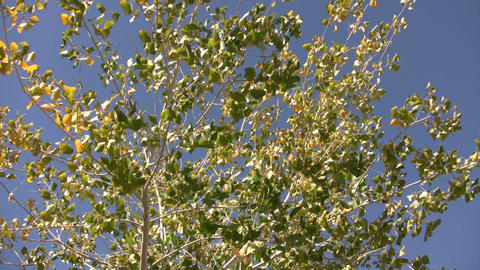 Tree gently sways in wind on sunny day (High Definition) Footage