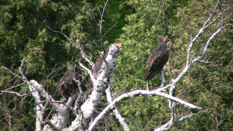 Turkey vultures hang around a tree, cooling off (High... Stock Video Footage