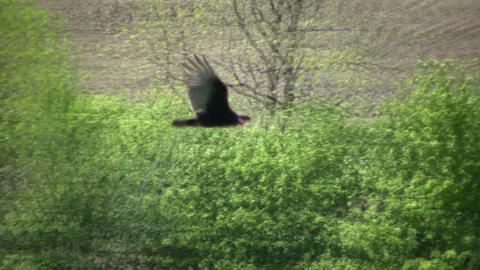 closeup of turkey vulture soaring through the sky (High Definition) Footage