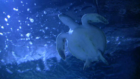 Sea Turtle is swimming at the water's surface Stock Video Footage