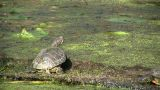 Turtle Is Relaxing In A Swamp On A Sunny Day stock footage