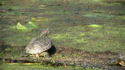 Turtle is relaxing in a swamp on a sunny day Footage