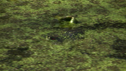 Turtle is relaxing in a swamp on a sunny day Stock Video Footage