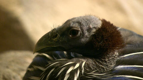 Closeup of a Vulturine Guineafowl resting Stock Video Footage