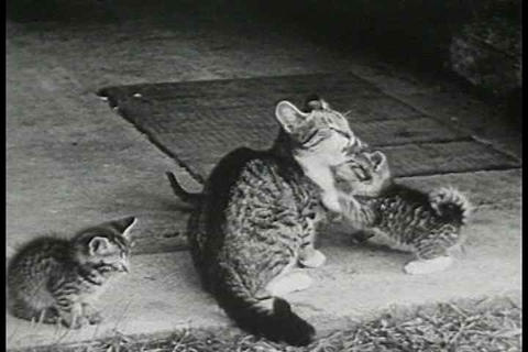 A Day In The Life Of A Cat In 1938 stock footage