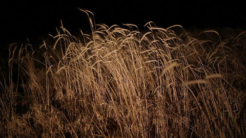 Night View Wheatfield stock footage
