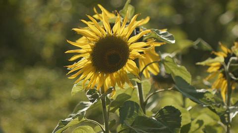 sunflower[向日葵]#2 Footage