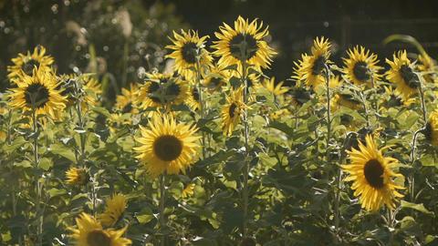 sunflower[向日葵]#4 Footage