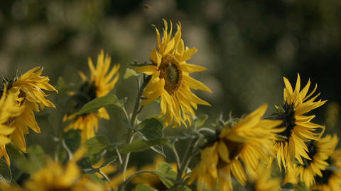 sunflower[向日葵]#6 Footage
