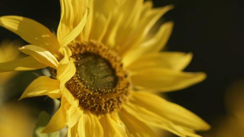 sunflower[向日葵]#8 Footage