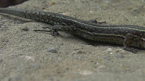 The viviparous lizard or common lizard, Zootoca vi Footage