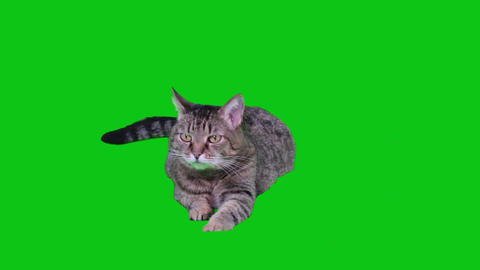 Cat Lying On Green-screen stock footage
