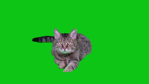 Cat lying on green-screen Footage