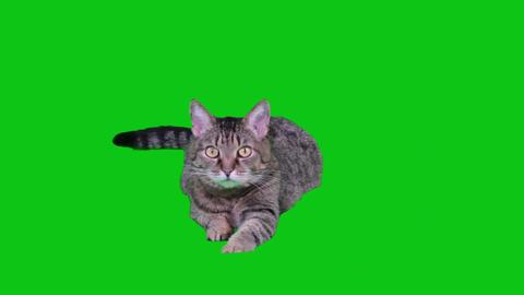 Cat lying on green-screen Footage