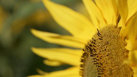 sunflower[向日葵]#11 Footage