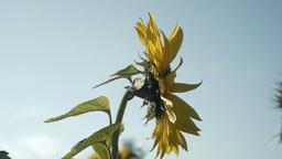 sunflower[向日葵]#12 Footage