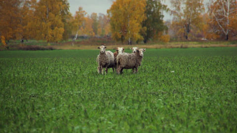 Funny Sheep Running Away stock footage