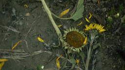 Sunflower dead cameras of moving Footage