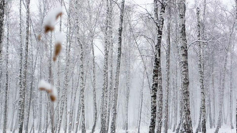 Snowstorm in the Dense Forest Footage