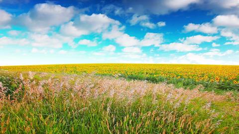 summer landscape - field of sunflowers on a backgr Footage