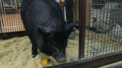 Petting zoo. Black pig Footage