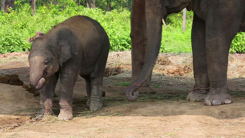 Elephant mother and baby Footage