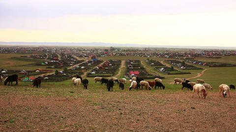 Flock Of Sheeps Moving, Kharkhorin, Mongolia stock footage