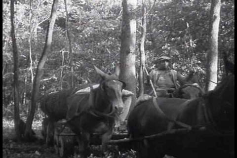 Large forests are felled in logging operations in  Footage