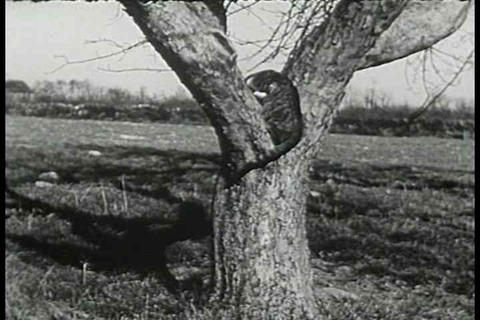 A day in the life of a kitten in 1938 Footage
