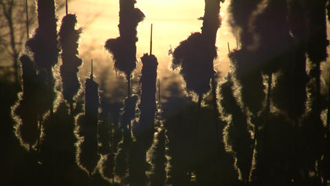 Dry weeds are gently swaying amidst sunset (High Definition) Stock Video Footage