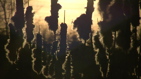 Dry weeds are gently swaying amidst sunset (High Definition) Footage