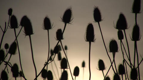 Dry weeds are gently swaying amidst the sun (High Definition) Footage