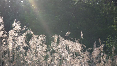Field of grass sways amidst the sunlight (High Definition) Footage
