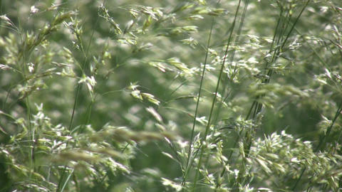 Field of green grass gently sways in wind (High Definition) Stock Video Footage