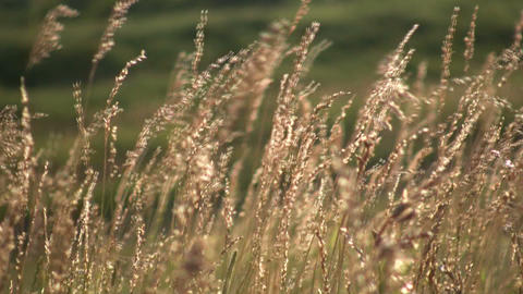 Field of brown grass gently sways in wind (High Definition) Stock Video Footage
