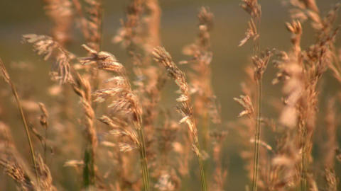 Field of brown grass gently sways in wind (High Definition) Footage