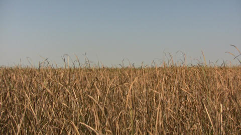 Dry tallgrass sways in wind on sunny day (High Definition) Live Action