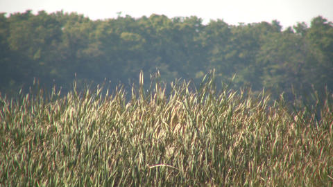 Dry tallgrass sways in wind on sunny day (High Definition) Stock Video Footage
