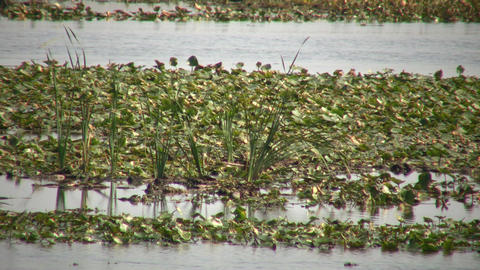 Lily-pads are floating in marsh on sunny day (High Definition) Footage