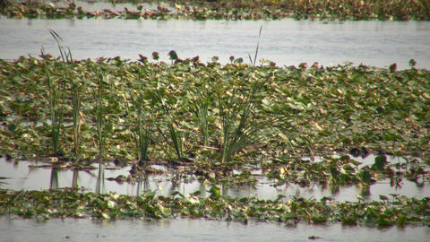 Lily-pads are floating in marsh on sunny day (High... Stock Video Footage
