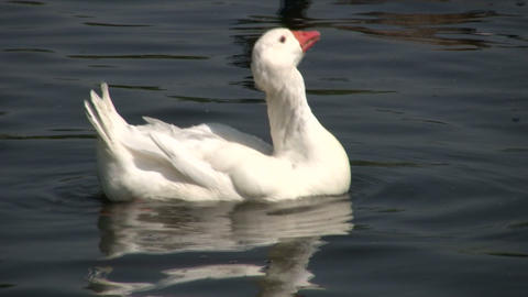 White goose casually swims in the pond (High Definition) Footage