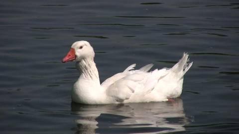 White goose casually swims in the pond (High Definition) Stock Video Footage