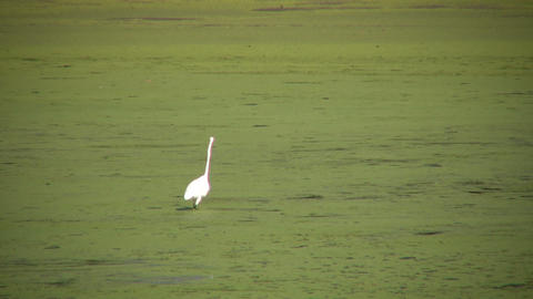 Single white heron is looking for food (High Definition) Footage