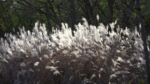 Silver Feather Grass is backlit by sunlight (High Definition) Footage