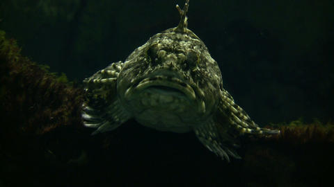 Whitespotted Greenling rests at the bottom of the water Stock Video Footage