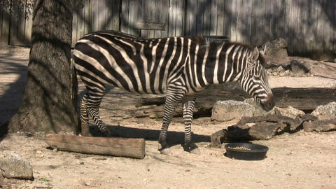 Zebra is hanging out in the sunlight Footage