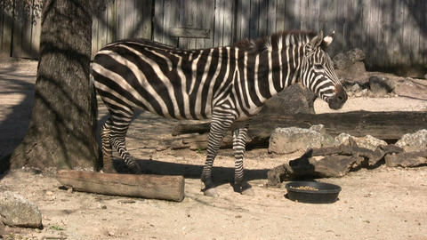 Zebra is hanging out in the sunlight Stock Video Footage