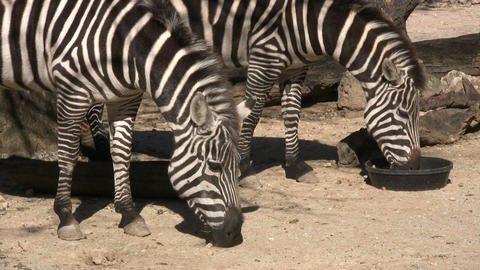 Closeup of some zebras eating on a sunny day Footage